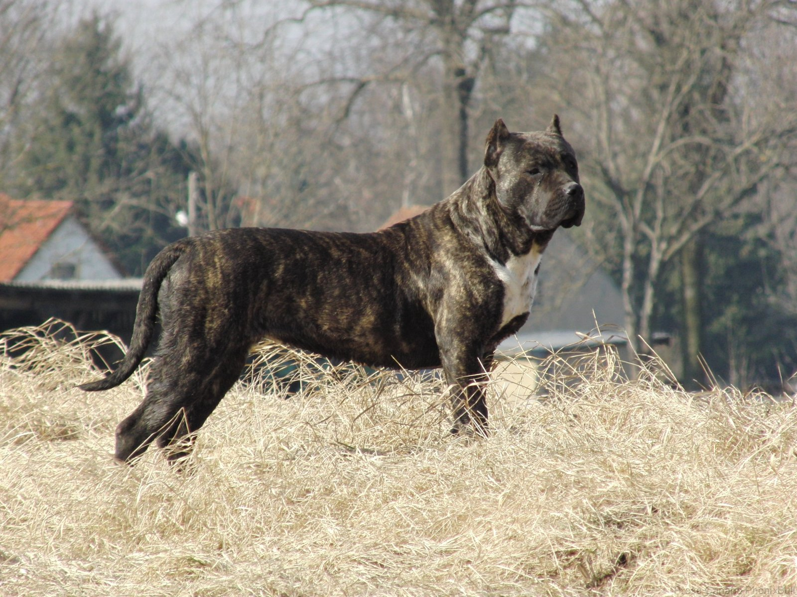 Dogo-Canario