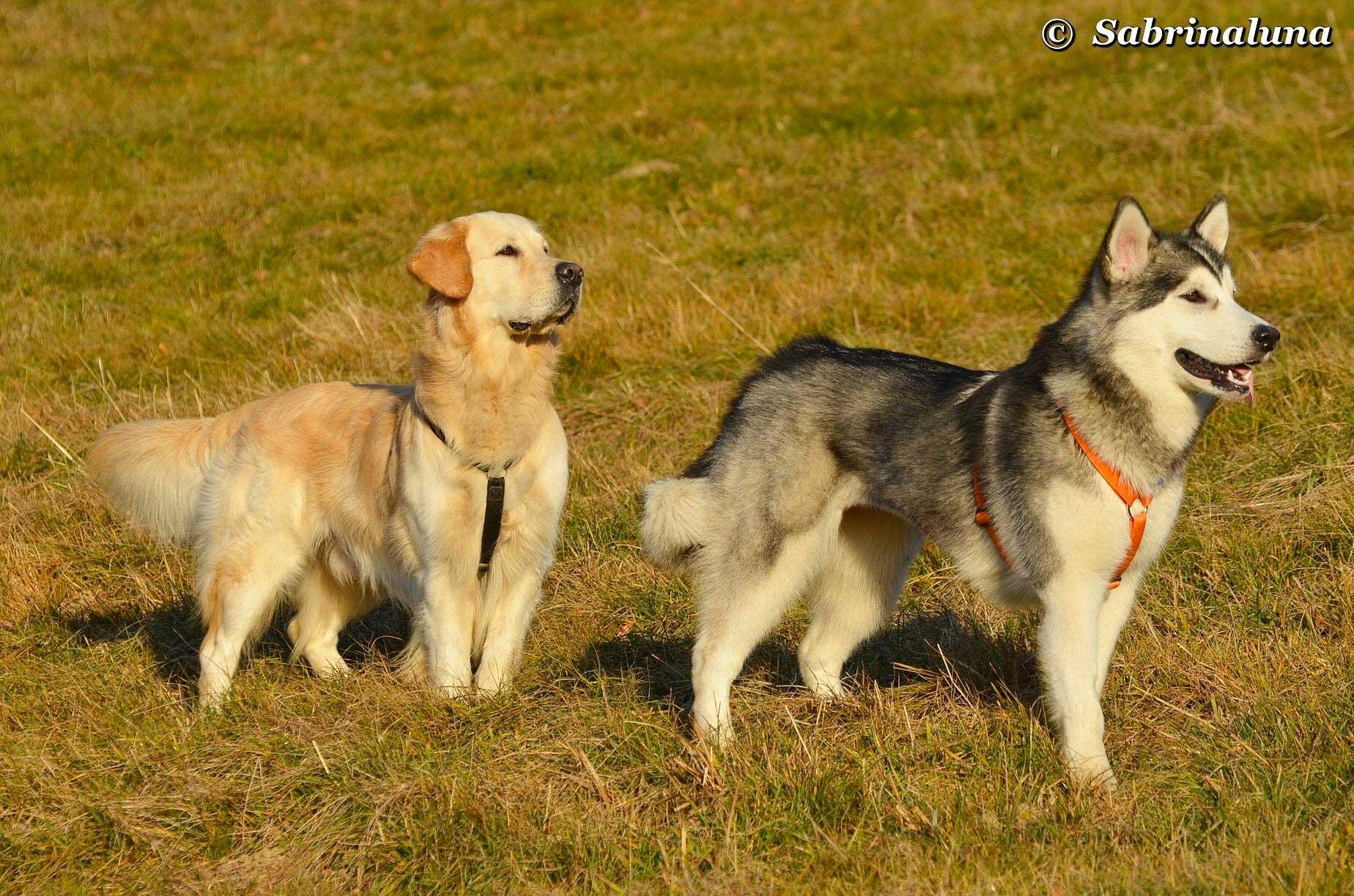La scala neotenica dal lupo al cane vita da cane for Lavorare con i cani