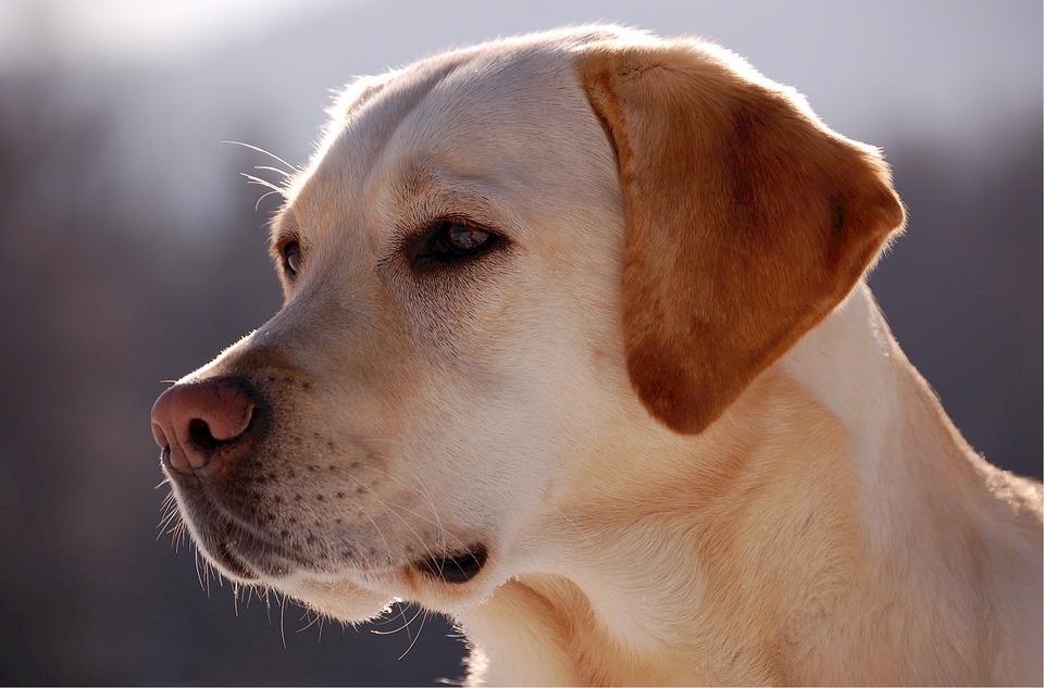 vita-da-cane-labrador