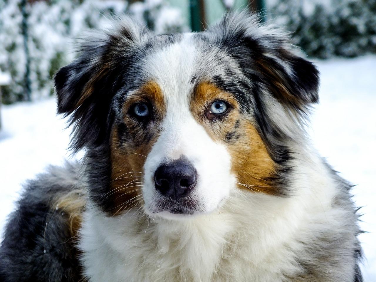 vita-da-cane-pastore-australiano